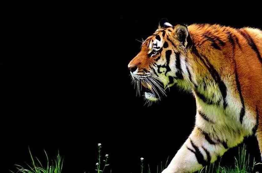 Comment recharger un oeil de tigre ?