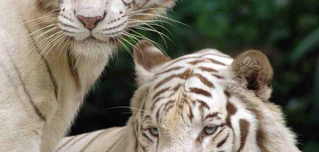Quelle est la couleur des yeux des tigres ?